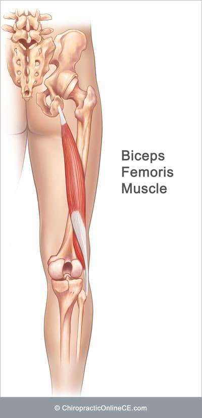 Bicep-Femoris